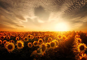 Обои Поля Подсолнухи Небо Рассветы и закаты Природа фото