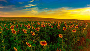 Обои Поля Рассветы и закаты Подсолнухи Природа фото