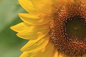 Обои Подсолнухи Крупным планом Лепестки Цветы фото