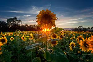 Обои Рассветы и закаты Подсолнухи Поля Небо Природа фото