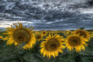 Обои Поля Подсолнухи HDR Природа Цветы фото
