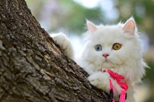 Обои Кошки Белый Взгляд Животные картинки