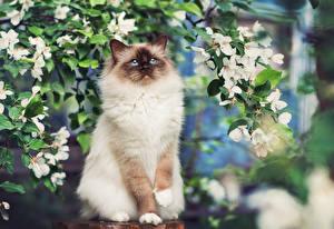 Обои Кошки Siamese Животные картинки