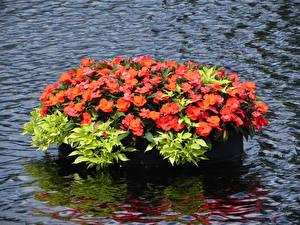 Обои Флоксы Вода Красный Цветы картинки