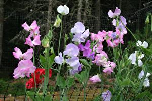 Обои Душистый горошек Цветы картинки