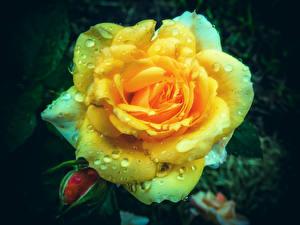 Обои Розы Крупным планом Желтый Капли Цветы картинки