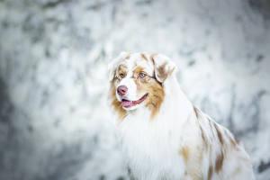 Обои Собаки Овчарка Australian Животные картинки