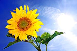 Обои Подсолнухи Крупным планом Небо Цветы фото