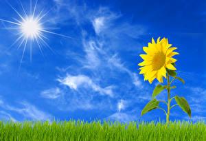 Обои Подсолнухи Небо Трава Солнце Цветы фото