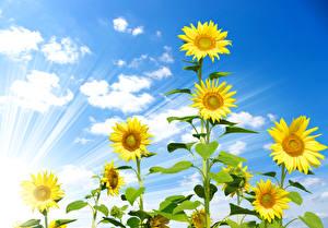 Обои Подсолнухи Облака Лучи света Цветы фото