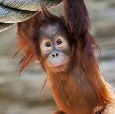 Обои Обезьяны Детеныши Взгляд Orangutan Животные фото
