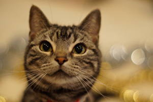 Обои Кошки Взгляд Усы Морда Животные картинки