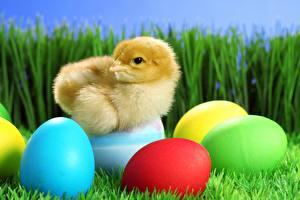 Обои Цыплята Трава Яйца Животные картинки