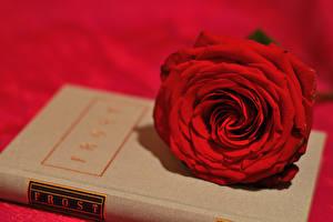 Обои Розы Красный Цветы картинки