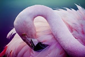 Обои Фламинго Птицы Розовый Голова Животные картинки