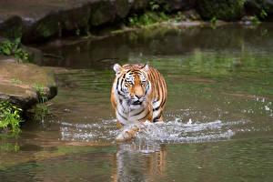 Обои Тигры Вода Животные картинки