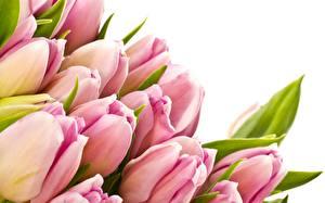 Обои Тюльпаны Белый фон Цветы картинки