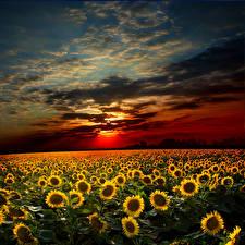 Обои Пейзаж Поля Подсолнухи Рассветы и закаты Небо Облака Природа фото