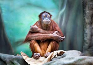 Обои Обезьяны Взгляд Orangutan Животные фото