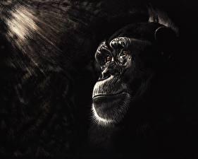 Обои Обезьяны Рисованные Лицо Черно белое Chimpanzee Животные фото