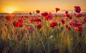 Фотография Мак Поля Рассветы и закаты Колос цветок