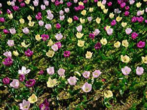 Фотография Тюльпан Много Разноцветные цветок