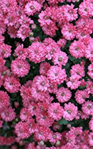 Фотографии Хризантемы Много Розовый цветок