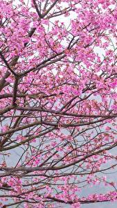 Фотографии Цветущие деревья На ветке Сакуры Розовая Цветы