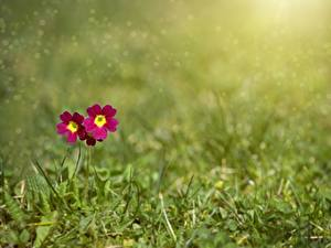 Фотографии Первоцвет Трава Размытый фон Цветы