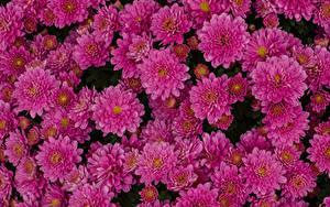Фотографии Хризантемы Вблизи Много Розовые Цветы