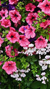 Обои Петунья Много Цветы