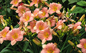 Фотографии Лилии Вблизи Бутон цветок