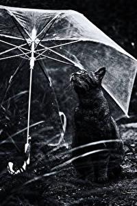 Обои Коты Черный Зонт Животные