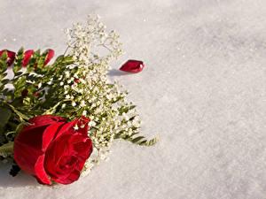 Картинка Розы Красный Цветы