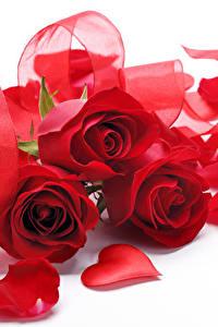 Обои Розы Белый фон Трое 3 Красных Серце Лепестки Цветы