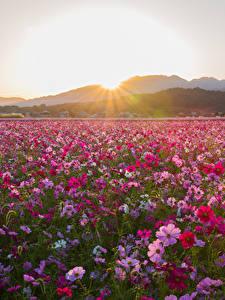Картинки Поля Рассветы и закаты Космея Много Цветы