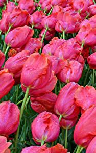 Обои Тюльпаны Много Крупным планом Розовые Цветы