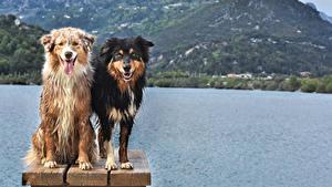 Картинки Собака Два Аусси Смотрит животное