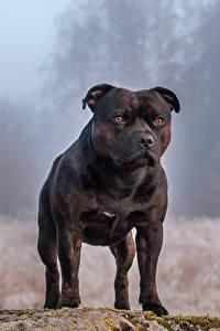 Картинка Собаки Черный Амстафф Животные