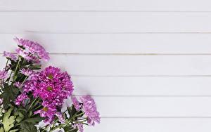 Обои Хризантемы Крупным планом Розовая Цветы