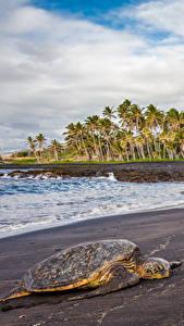 Фото Тропики Побережье Черепахи США Гавайи Пальмы Природа Животные