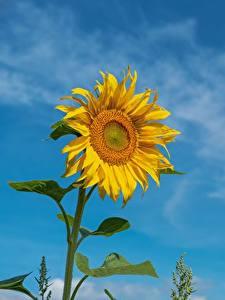 Фото Подсолнечник Желтая Цветы