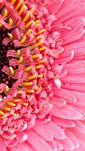 Картинки Герберы Макро Крупным планом Розовая цветок