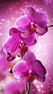 Картинка Орхидеи Крупным планом Розовые цветок