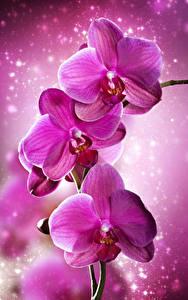Картинка Орхидеи Крупным планом Розовый Цветы