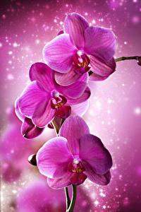 Картинка Орхидеи Вблизи Розовый Цветы