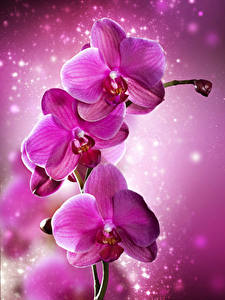 Картинка Орхидея Крупным планом Розовые цветок
