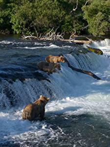 Фотография Медведь Гризли Реки Водопады Рыбалка Животные