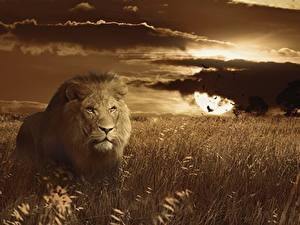 Фото Рассветы и закаты Большие кошки Львы Трава Взгляд Животные
