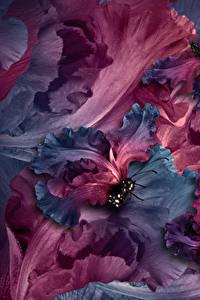 Картинка Ирисы Бабочки Вблизи Цветы
